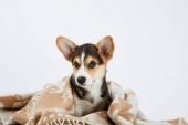 roztomilé velšské hovínek štěně v přikrývce, které se dívá na kameru izolovaně na bílém