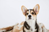 cute welsh corgi puppy in blanket isolated on white