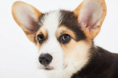 close up view of cute welsh corgi puppy isolated on white