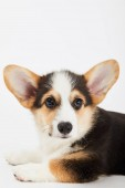 cute welsh corgi puppy looking away isolated on white