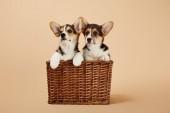 Fotografia carino soffice cuccioli di corgi in cesto di vimini su sfondo beige