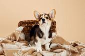 mrffy velšské hovínek štěně na přikrývce blízko proutěného koše izolovaného na béžové