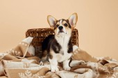 Photo fluffy welsh corgi puppy on blanket near wicker basket isolated on beige