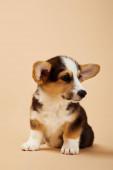 hezké velšské korgi štěně, které se dívá na béžovou