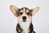 carino cuoio welsh corgi cucciolo guardando fotocamera isolata su bianco