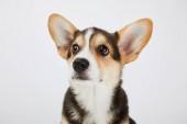 hezké velšské korgi štěně, které se dívá izolovaně na bílém