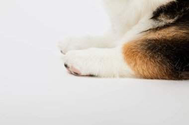 partial view of cute welsh corgi puppy paws on white background