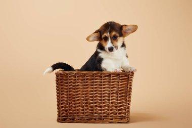 cute welsh corgi puppy in wicker basket on beige background