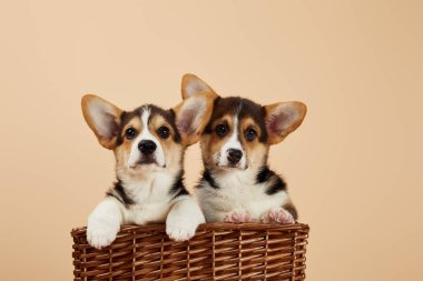 Cute welsh corgi puppies in wicker basket looking at camera isolated on beige stock vector