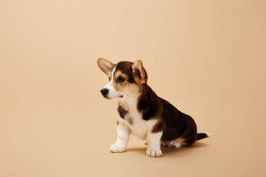 cute welsh corgi puppy looking away on beige background