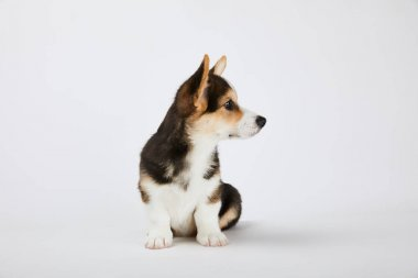 Cute welsh corgi puppy looking away on white stock vector