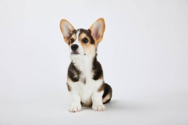 cute welsh corgi puppy sitting and looking away on white background