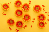 Fotografia top view of orange gerbera flowers with petals on yellow background