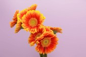 orange gerbera flowers on violet background with copy space