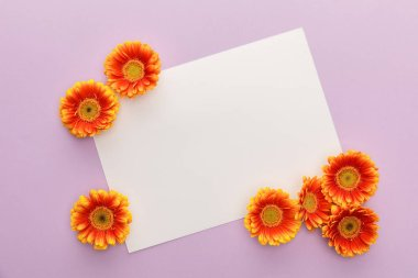Top view of orange gerbera flowers and white blank paper on violet background stock vector