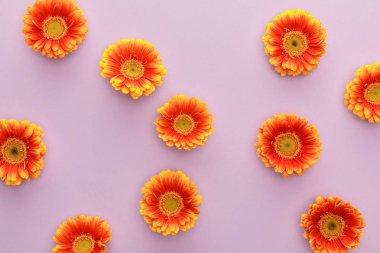 Top view of orange gerbera flowers on violet background stock vector