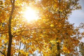 sun and trees with yellow in autumnal park at day