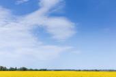 žluté kvetoucí divoké květy na poli proti modré obloze