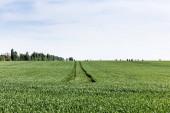 Fotografie zelená a čerstvá tráva na poli v blízkosti stromů proti zatažené obloze