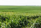 selektivní zaměření slunečního svitu na čerstvou trávu na letním poli