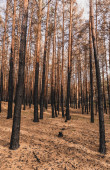 magas fatörzsek a nyári erdőben