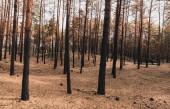 staré a vysoké kmeny stromů v letním lese
