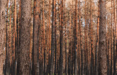 Photo selective focus of tall tree trunks in summer forest