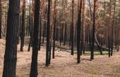 selektivní zaměření vysokých stromů v letním lese