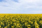 žluté a kvetoucí divoké květy proti modré obloze s mraky v létě