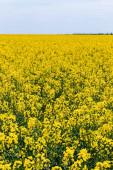 szelektív fókusz sárga és virágzó vadvirágok ellen ég felhők nyáron