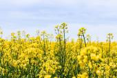 selektivní zaměření žlutých a kvetoucích planě rostoucích květin proti obloze s mraky v létě