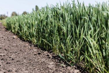 Selective focus of ground near fresh grass stock vector