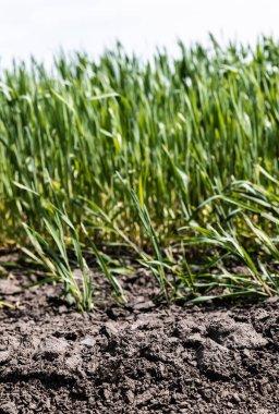 Selective focus of fresh grass near ground stock vector