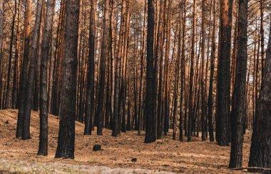 Sunlight on tree trunks in summer woods stock vector