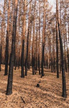 Tall tree trunks in summer woods stock vector