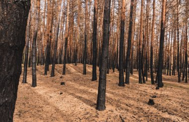 Sunlight on tall tree trunks in summer forest stock vector