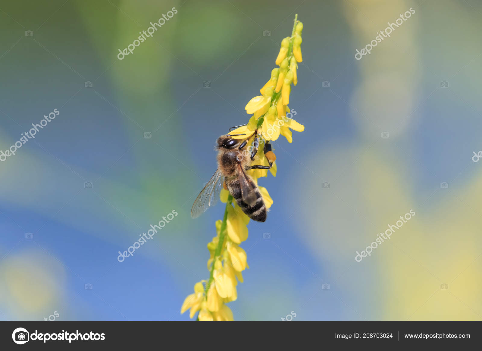 Honey Bee Collects Nectar Yellow Sweet Clover Flowers Blurred Blue