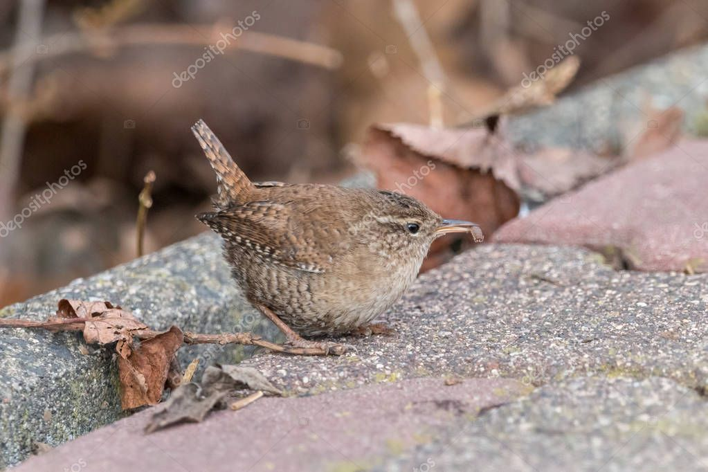 Eurasian wren (Troglodytes troglodytes) with catch in beak. Small, stump-tailed mouse-like brown songbird sitting on the ground with blurred background.