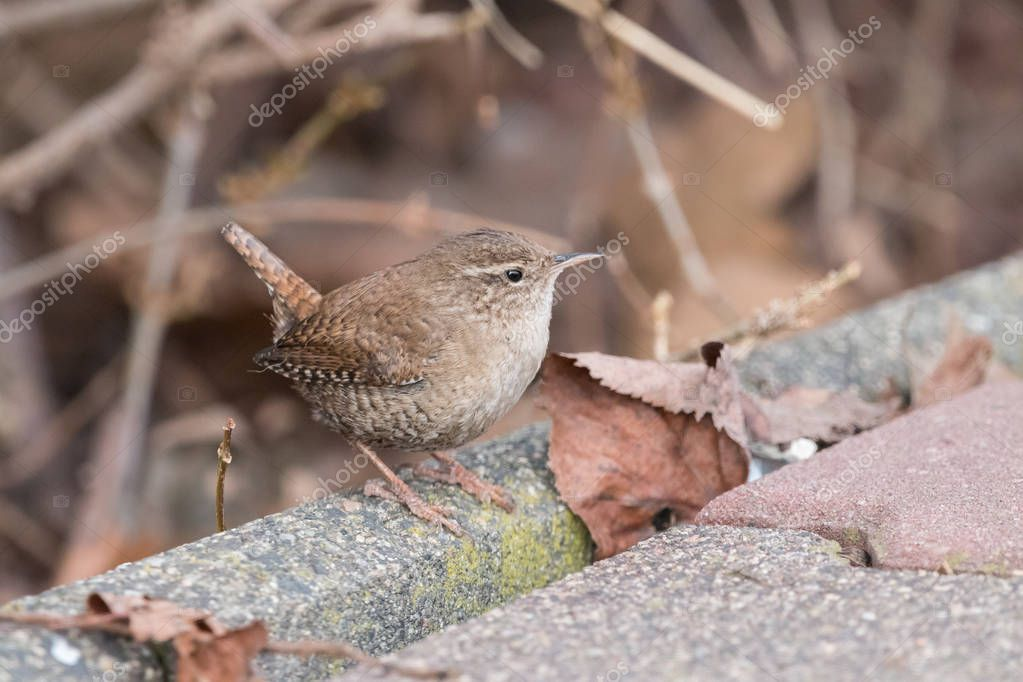 Eurasian wren (Troglodytes troglodytes) sitting on sidewalk with a brown blurred background. Small, stump-tailed mouse-like brown songbird.
