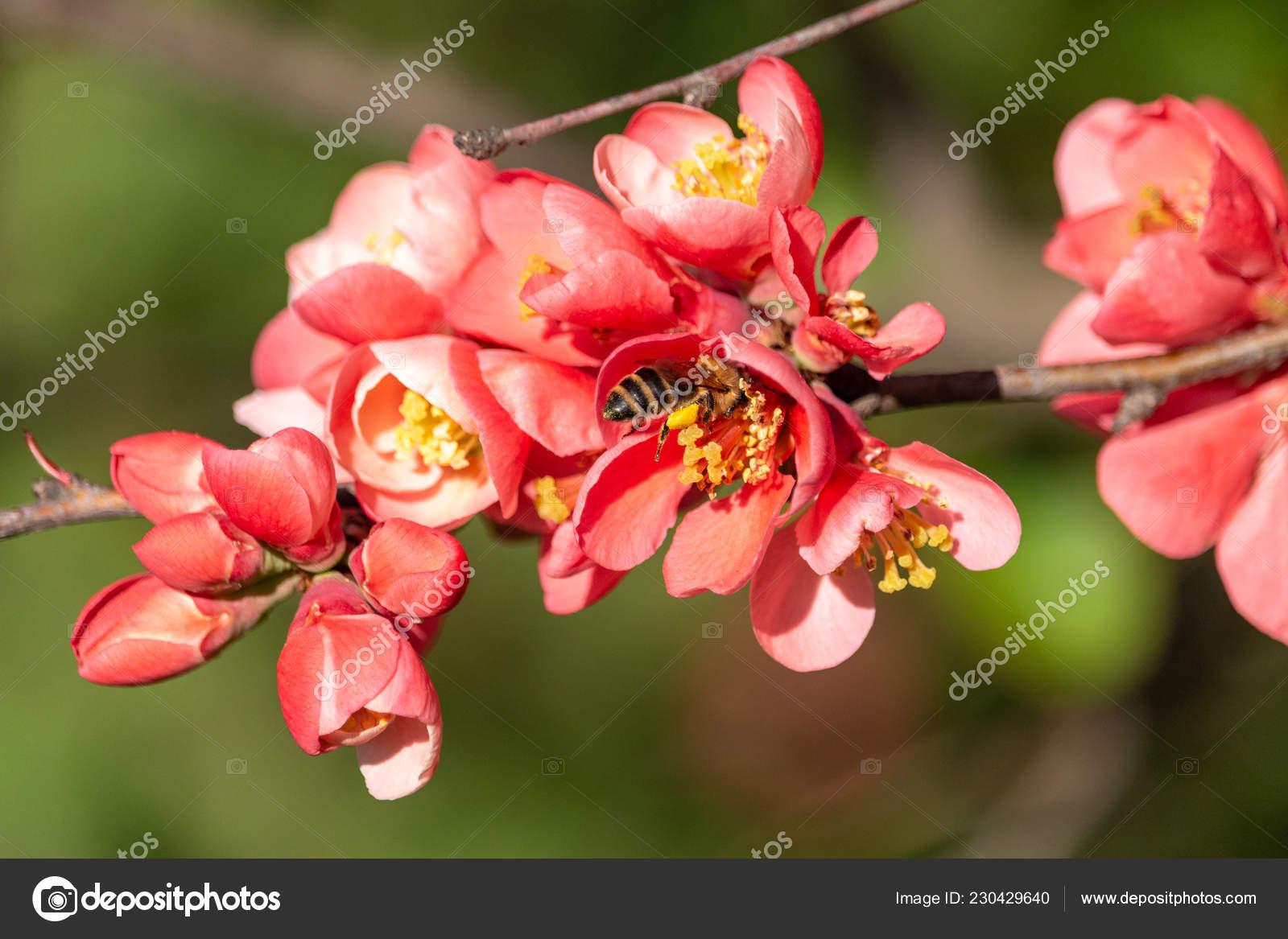 çiçek Açan Japonca Ayva Yeşil Zemin üzerine Kırmızı çiçekler Ayva