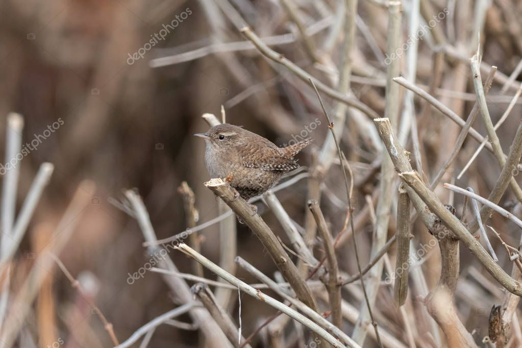 Eurasian wren sitting on on a bare shrub. Small, stump-tailed brown songbird (Troglodytes troglodytes) perching on bush branch with a brown blurred background.