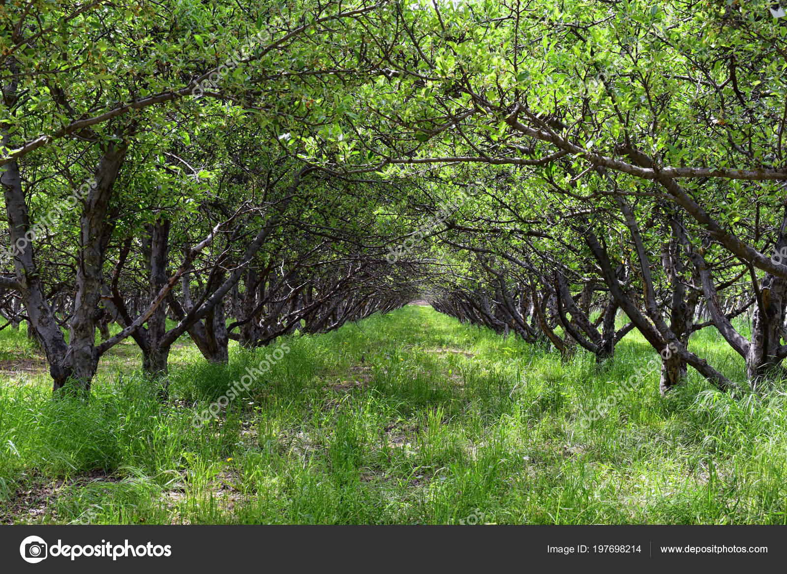 Spring Apple Fruit Trees Orchard Row Apple Trees Green Grass Stock Photo C Jeremyarnica 197698214