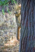 Photo Fox squirrel (Sciurus niger) along the Jordan River Trail in Salt Lake City, Utah, also known as the eastern fox squirrel or Bryants fox squirrel, the largest species of tree squirrel native to North America, sometimes mistaken for American red squi