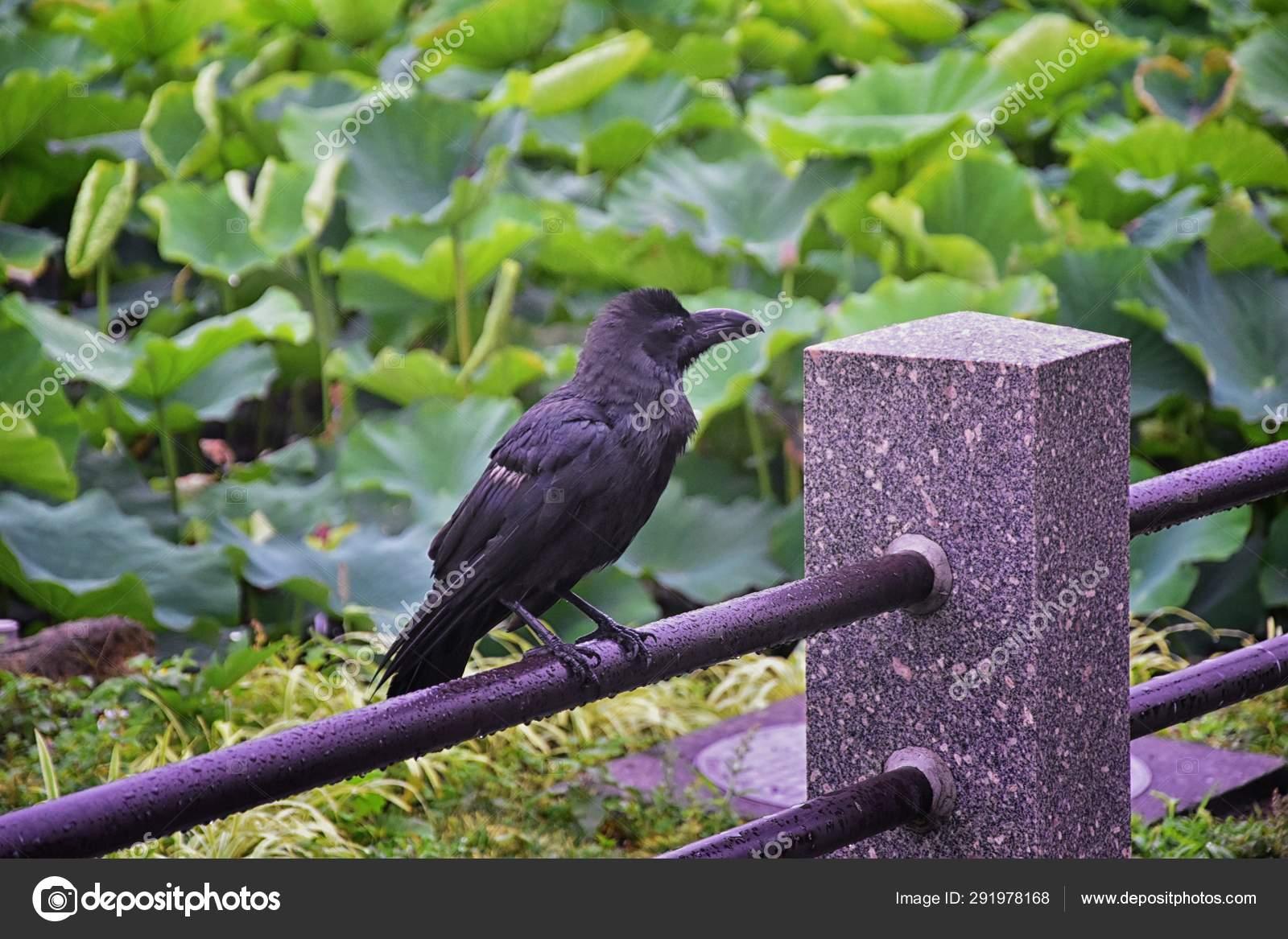 Raven Corvus Corax Bird Common Close Beautiful Wild Black Flying Stock Photo C Jeremyarnica 291978168