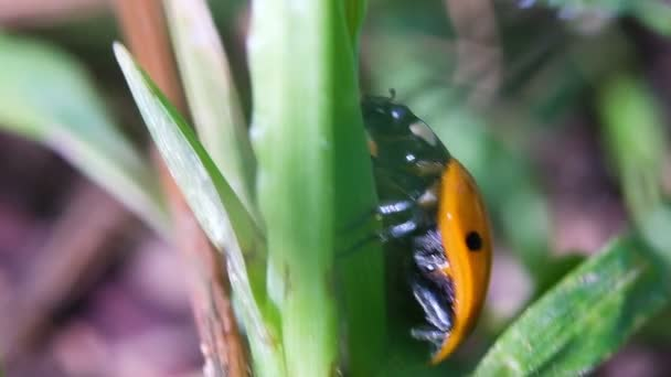 Katica összekuszálja a fű közeli, makró
