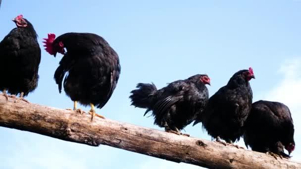 Schwarzer ckock