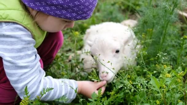 Dítě si hraje s malou ovcí ve vesnici. Dívka živí trávy bílý Beránek