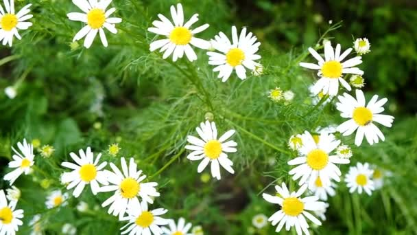 Field daisies sway in the wind, slow motion
