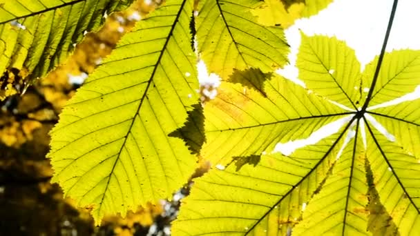 Sluneční svit mezi listy kaštanu, close-up pohybu fotoaparátu. Zpomalený pohyb