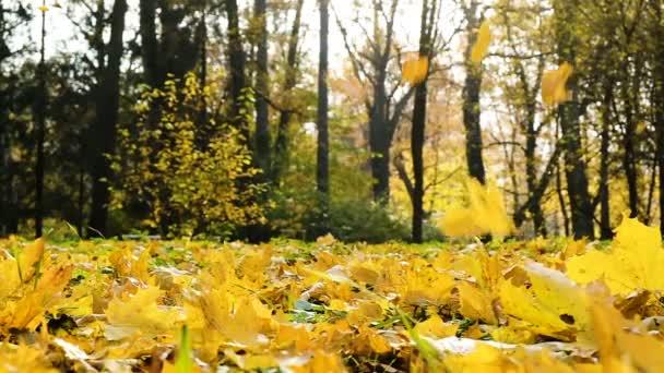 Na podzim listí v zlatý podzim, javorové žluté listy létat ve větru a spadnou na zem za slunečného dne, zpomalené
